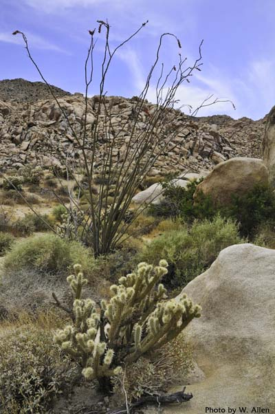 Ocotillo and cholla on a rocky slope